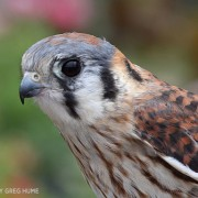 female_american_kestrel-greg-hume